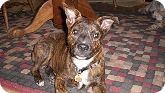 Terrier (Unknown Type, Medium) Mix Puppy for adoption in Westminster, Colorado - Haggus