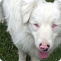 Adopt A Pet :: Percy - DEAF & SIGHT IMPAIRED - Post Falls, ID