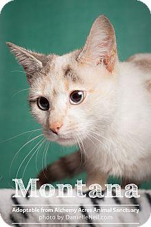 Siamese Cat for adoption in Salem, Ohio - Montana