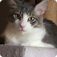 Domestic Mediumhair Cat for adoption in Sarasota, Florida - Dexter