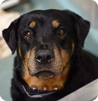 Rottweiler Dog for adoption in Hillsboro, New Hampshire - Maxi