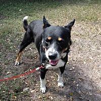 Australian Cattle Dog Mix Dog for adoption in Olympia, Washington - Ripley