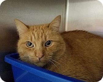 Domestic Shorthair Cat for adoption in Elyria, Ohio - Murphy