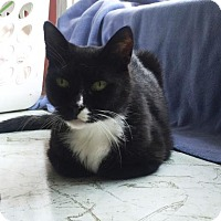 American Shorthair Cat for adoption in Washington, Virginia - Tommy