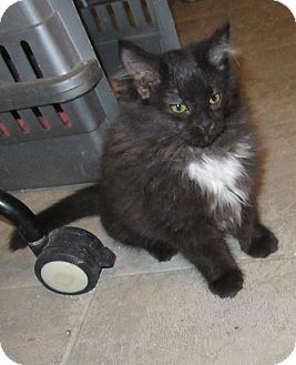 Domestic Longhair Kitten for adoption in Rochester, Minnesota - InaLee
