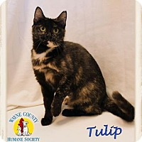 Adopt A Pet :: Tulip - Wooster, OH