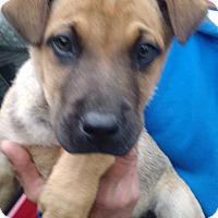 Adopt A Pet :: Ranger - Kendall, NY