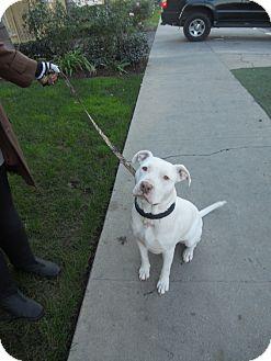 Staffordshire Bull Terrier/American Bulldog Mix Dog for adoption in Valley Village, California - HONEY BEAR