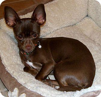 Chihuahua Dog for adoption in AUSTIN, Texas - TOOTSIE