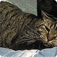 Domestic Mediumhair Cat for adoption in Huntington, New York - Floyd