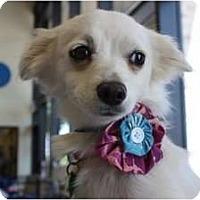 Adopt A Pet :: Sugar - Arlington, TX