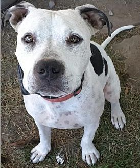 Dalmatian/Pit Bull Terrier Mix Dog for adoption in Orland, California - Callie