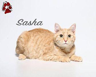 Bengal Cat for adoption in Laconia, Indiana - Sasha