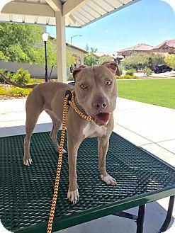 Pit Bull Terrier/Weimaraner Mix Dog for adoption in Las Vegas, Nevada - Lele