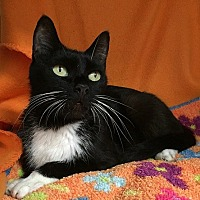 Domestic Shorthair Cat for adoption in Oviedo, Florida - Jayla