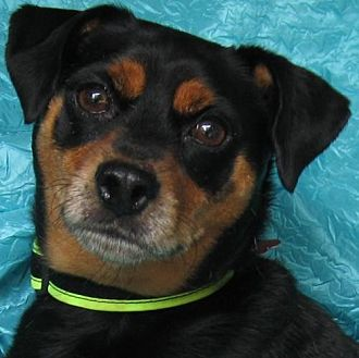 Miniature Pinscher Mix Dog for adoption in Cuba, New York - Dash
