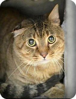 Domestic Shorthair Cat for adoption in Arlington/Ft Worth, Texas - Chester
