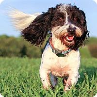 Adopt A Pet :: Louie - Starkville, MS