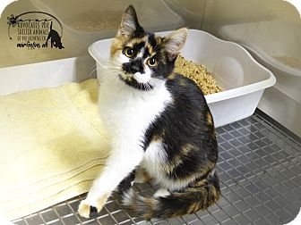 Calico Kitten for adoption in Marlinton, West Virginia - Kylee