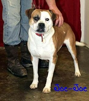 American Bulldog/Labrador Retriever Mix Dog for adoption in Union Grove, Wisconsin - Joe Joe needs foster home