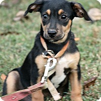 Adopt A Pet :: Ollie - Spring Valley, NY