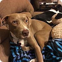Adopt A Pet :: Gavin - Austin, TX