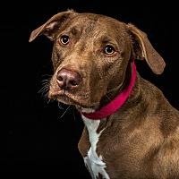Adopt A Pet :: Sven - Livonia, MI
