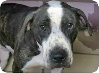 Spaniel (Unknown Type)/American Pit Bull Terrier Mix Dog for adoption in Claypool, Indiana - STELLA