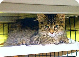 Domestic Mediumhair Kitten for adoption in Victor, New York - Otis