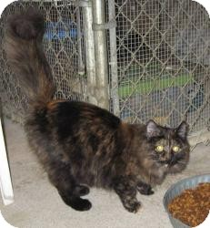 Domestic Longhair Cat for adoption in Geneseo, Illinois - Venice