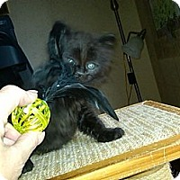 Adopt A Pet :: Lil Bear - Sterling Hgts, MI