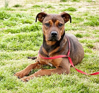 Terrier (Unknown Type, Medium)/Pit Bull Terrier Mix Dog for adoption in Tanner, Alabama - Rosanna