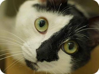 Domestic Shorthair Cat for adoption in New York, New York - Osorio