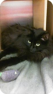 Domestic Longhair Cat for adoption in Alexis, North Carolina - Sophie