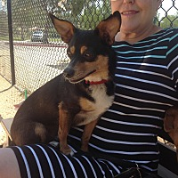 Terrier (Unknown Type, Small)/Terrier (Unknown Type, Small) Mix Dog for adoption in San diego, California - Mr. Hershey