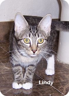Domestic Shorthair Kitten for adoption in Oklahoma City, Oklahoma - Lindy