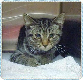 Domestic Shorthair Kitten for adoption in Marietta, Georgia - NICK