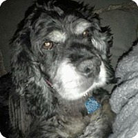 Adopt A Pet :: Lexi - Flushing, NY