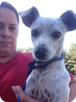 Whippet Mix Dog for adoption in Oakdale, Louisiana - Spotz