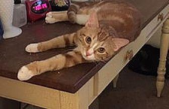 Domestic Shorthair Kitten for adoption in NEWCASTLE, California - rowdy