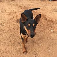Adopt A Pet :: Hulk - Midland, TX