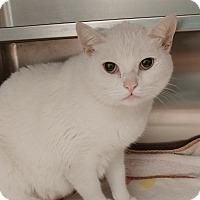 Domestic Shorthair Cat for adoption in Umatilla, Florida - Ricotta