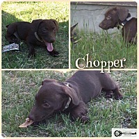 Adopt A Pet :: Chopper - DeForest, WI