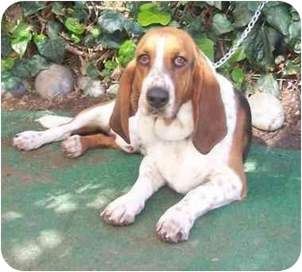 Basset Hound Dog for adoption in Poway, California - Toby