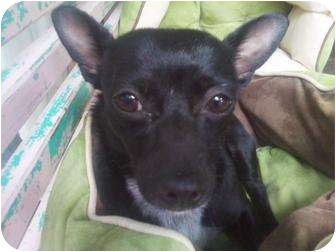Chihuahua/Rat Terrier Mix Dog for adoption in Houston, Texas - JOSEY