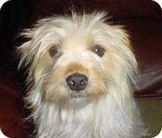 Maltese/Yorkie, Yorkshire Terrier Mix Dog for adoption in Tucson, Arizona - Candy