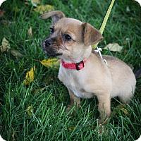 Adopt A Pet :: Mindy - Broomfield, CO
