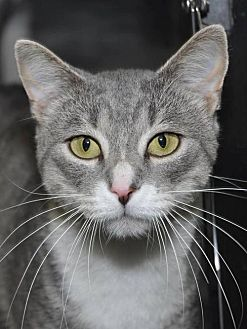 Domestic Shorthair Cat for adoption in South Saint Paul, Minnesota - Benny