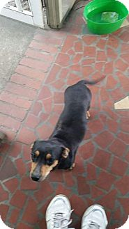 Dachshund/Chihuahua Mix Dog for adoption in Shaw AFB, South Carolina - Princess and Manx