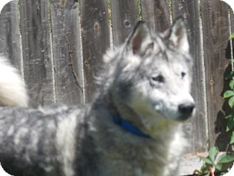 Siberian Husky Dog for adoption in SOUTHINGTON, Connecticut - Domino